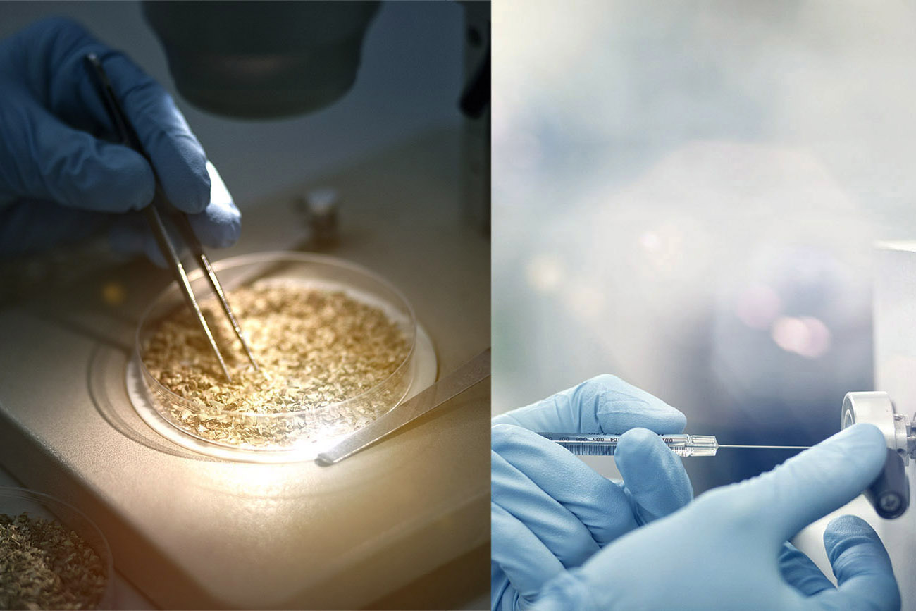 Scientist examining wheat grains in petri dishes